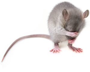 Mice control tips for you home